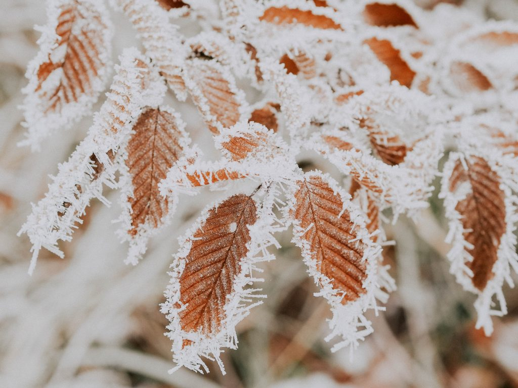 brown leaves covered in frost